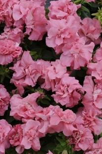 Petūnija  Duo Pink Satin