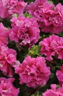 Petūnija  Double Cascade Pink